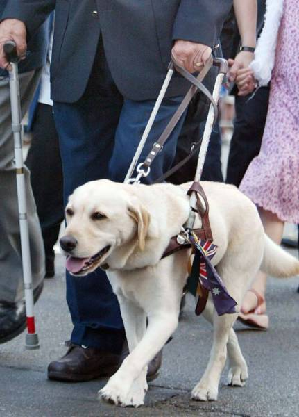 b2ap3_thumbnail_blindness-guide-dog-for-the-blind.jpg