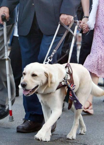 b2ap3_thumbnail_blindness-guide-dog-for-the-blind.jpg